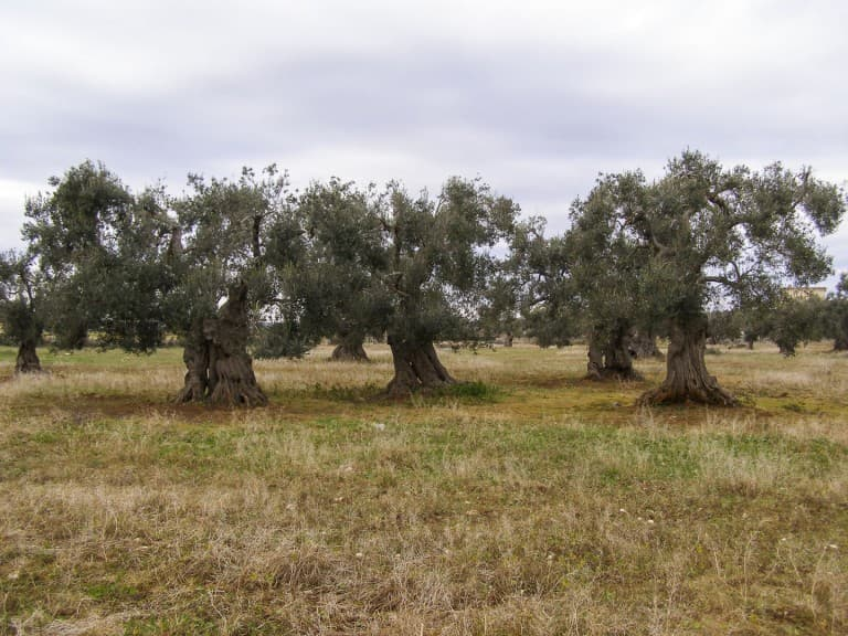 Centuries-old olive trees with the strange shapes