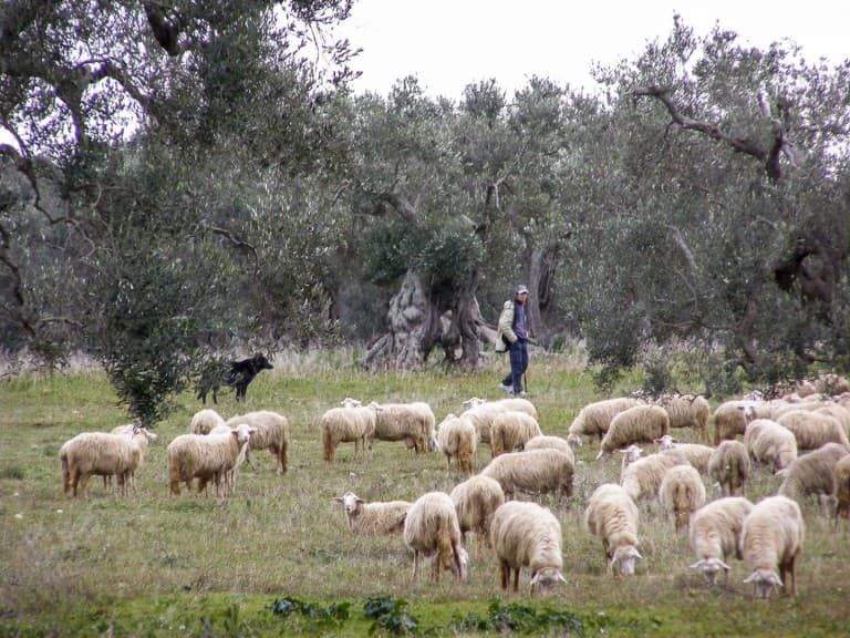 A shepherd with his sheep in olive groves