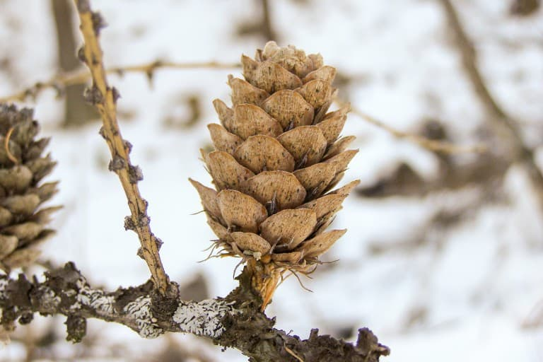A pine cone on a tree of the winter forest