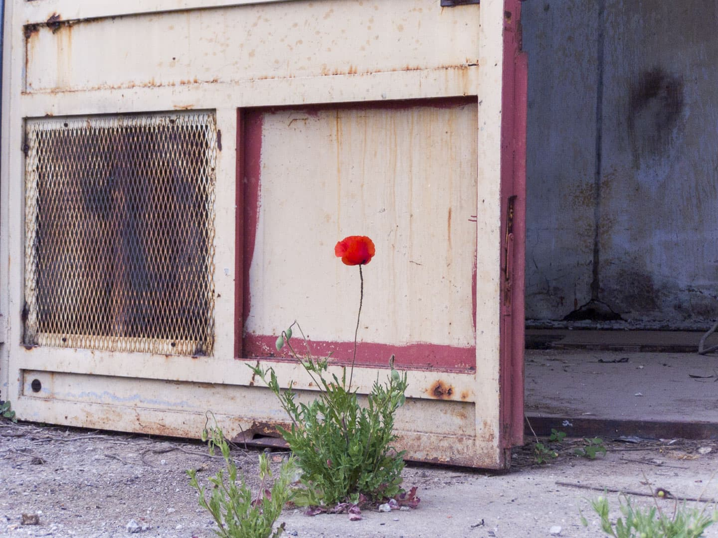 Poppy Flower at Unknown Abandoned Factory in Nichelino, Italy